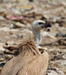 Cape Vulture The Cape vulture or Cape griffon, also known as