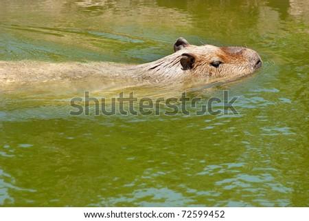 Capibara swimming in peruvinan amazonia. (Hydrochoerus hydrochaeris)