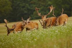 Capital, huge trophy fallow deer male in group with more fallow deer. Adult fallow deer males with growing antlers covered in velvet. Dama dama.