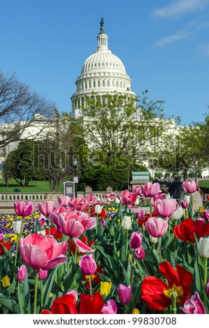 Capitol Building in Washington DC with tulips foreground in spring