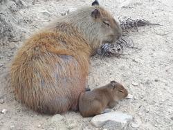 capivara and her son