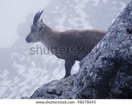 Capra ibex in Alps, France