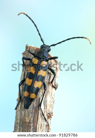 Capricorn beetle (long-horned, longicorn) Leptura aethiops on a plant