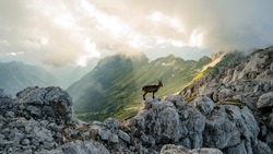 Capricorn in its own nature environment during scenic sunset in mountain. Wild chamois on the rocks at the top of the summit. Wild animal in the wild in nature.