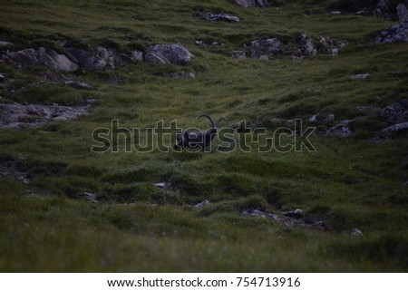 Capricorn on a mountainside in the Alps #754713916
