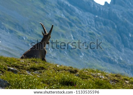 Capricorn resting in the Hochschwab moutanins
