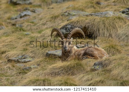 Capricorn resting in the mountain grass