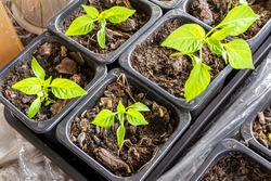 capsicum seedlings planted in plastic pots with a soil mixture, sweet peppers also called bell peppers, maybe paprika