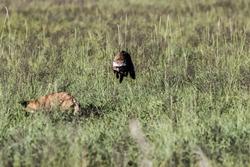 caption of bat eared fox in its natural habbitat