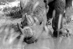 caption of rhino portrait from up close