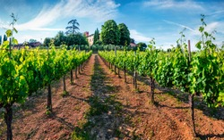 Captivating morning scene in vineyard in Tuscany. Wonderful summer view of the Italian countryside, Siena location, Italy, Europe. Beauty of countryside concept background.