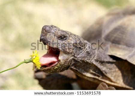 Captive adult male California Desert Tortoise eating Dandelion. Marin County, California, USA.