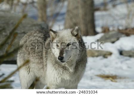 Captive Alpha Female North American Grey Wolf
