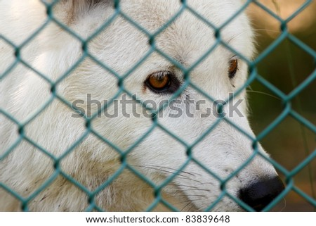 Captive arctic wolf (Canis Lupus) looks through the chain link fence that keeps him in his enclosure