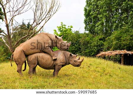 captive black rhinoceros mating