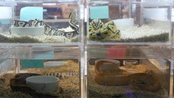 Captive bred snakes for sale. Small plastic boxes with captive bred ball pythons of various morphs placed on stall on Chatuchak Market in Bangkok, Thailand.
