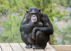 Captive chimpanzee in outdoor habitat