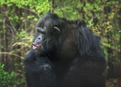 Captive Chimpanzee Pant Hooting in Outdoor Habitat