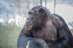 Captive Chimpanzees in Outdoor Habitat