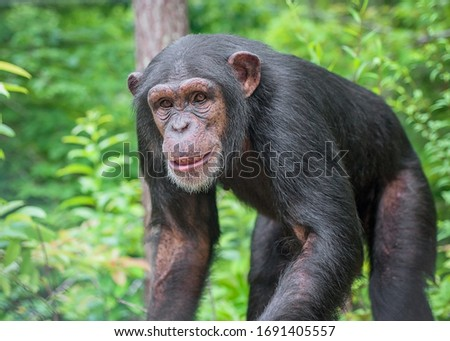 Captive Chimpanzees in Outdoor Habitat Сток-фото ©
