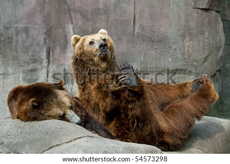 Captive coastal brown bear and grizzly bear sitting and stretching
