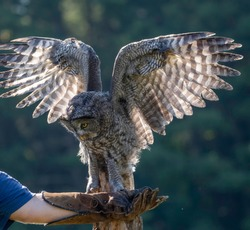 Captive Great Grey Owl on a leather glove during training.