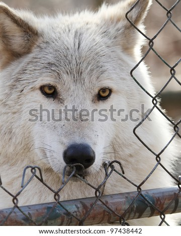 Captive Grey Wolf looks through an enclosure opening  (Canis lupus)