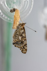 Captive Painted Lady Butterfly emerging from chrysalis and expanding their delicate wings