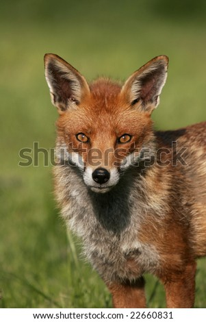 Captive Red Fox, Vulpes vulpes