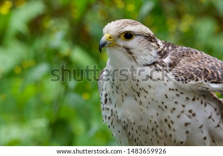 Captive Saker falcon pictured against a leafy background, The Raptors, Duncan, British Columbia