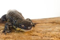 Captive Tiger Salamander (Ambystoma tigrinum) Portrait