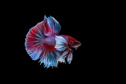 Capture the moving moment of Siamese fighting fish, big ear betta isolated on black background.
