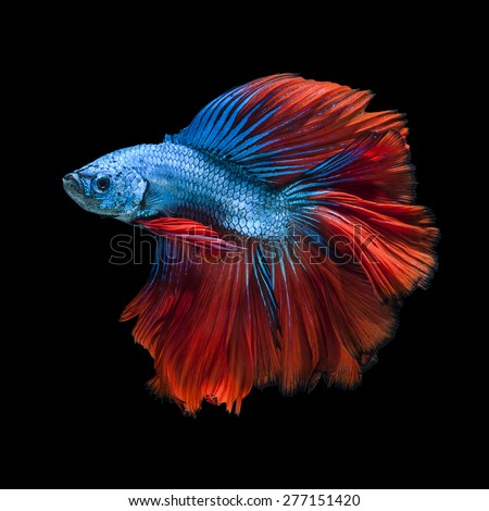 Shutterstock puzzlepix for Siamese fighting fish crossword