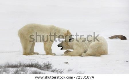 Capture. The polar bear has teeth by the throat the opponent.