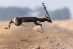 Captured This BlackBuck Male Jumping To another Side Of Grassland At Velavadar ,  Gujarat .