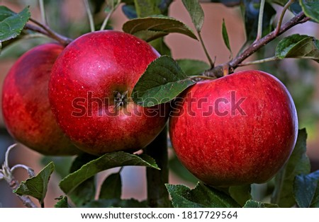 Capturing the luscious and tempting juicy freshness of Katy apples, as they ripen in strong sunlight. Stockfoto ©