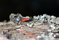 Capuchin beetle (latin name: Bostrichus capucinus - Bostrychidae) - insect sitting on oak wood.  It is a technical pest of wood.