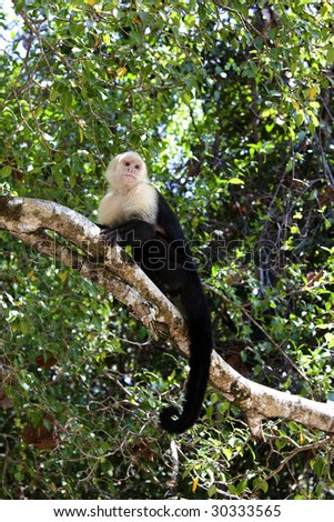Capuchin Monkey in Manuel Antonio National Park in Costa Rica