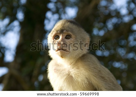Capuchin monkey in the jungle of Ecuador