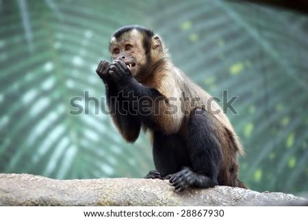 Monkey Making Funny Face Capuchin Monkey Making Funny