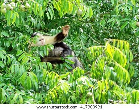 Shutterstock Capuchin monkey waving from a tree on Monkey Island in Lake Gatun, Panama