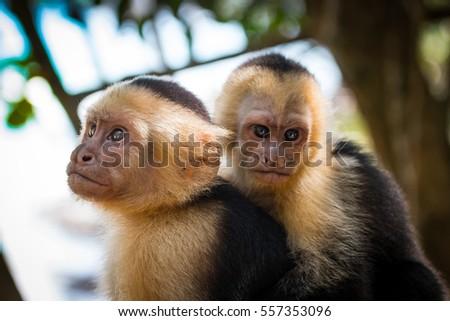 Capuchin Monkeys - Miguel Antonio National Park, Costa Rica.