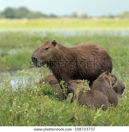 Capybara and her kids in the El Cedral - Los Llanos, Venezuela