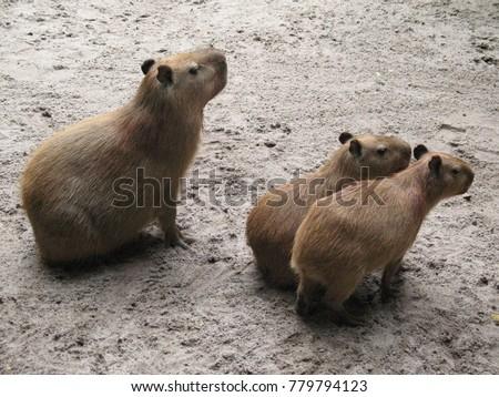 Capybara family (Hydrochoerus hydrochaeris) Caviidae family.  Amazon rainforest, Brazil