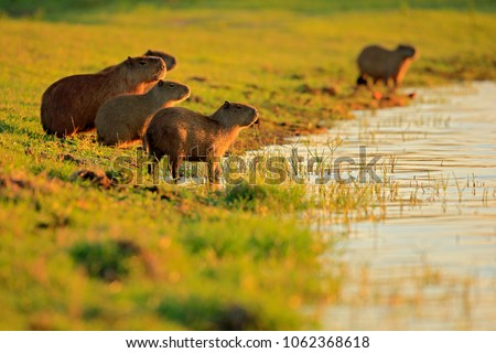 capybara  family with youngs ...