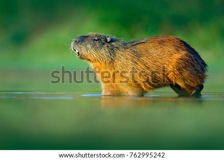 capybara  hydrochoerus...