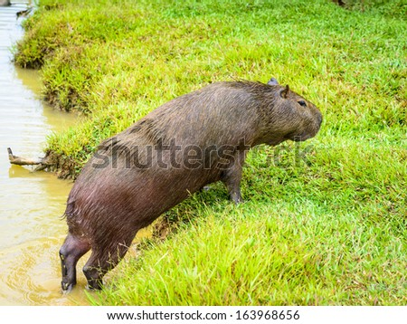 Capybara (Hydrochoerus hydrochaeris), the largest rodent in the world,jumps out of the water
