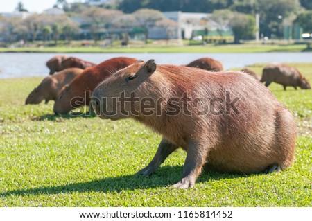 Capybara is a specie of rodent mammal of the Caviidae family and subfamily Hydrochoerinae