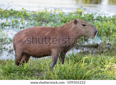 Capybara is next to the water in the El Cedral - Los Llanos, Venezuela