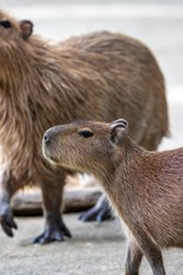 Capybara portrait shot